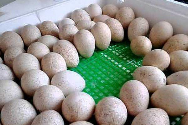 Яйца в инкубаторе располагайте острым концом вбок и вниз