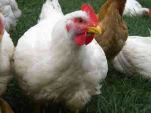 Живая масса этих кур достигает пяти килограмм
