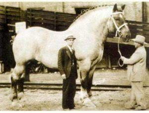 Ходят легенды, что первые тяжелоупряжные кони достигали высоты в два метра и весили более тонны