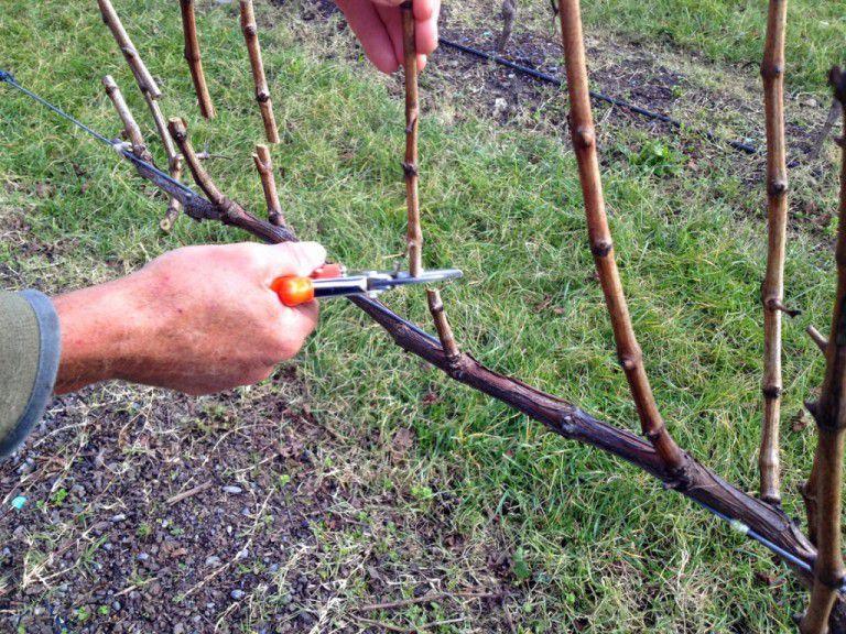 Для кормления можно использовать старые побеги винограда