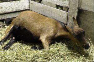 Беременной козе необходимо предоставить отдельное помещение