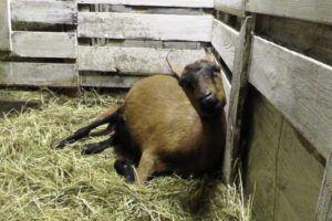 Окот козы