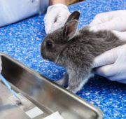 Осмотр кролика с подозрением на кокцидиоз