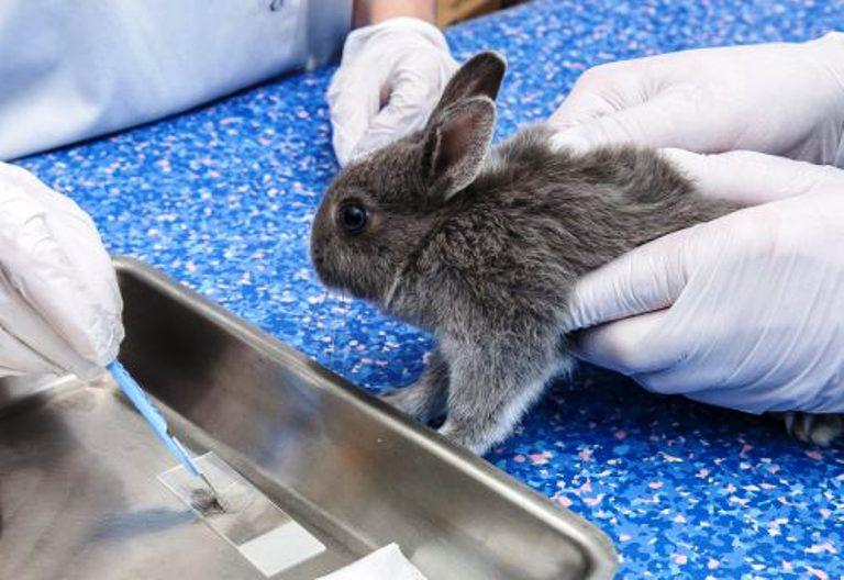 Можно ли есть кролика больного кокцидиозом, миксоматозом? Можно ли есть кролика по Библии православным? Можно ли есть кролика на диете?