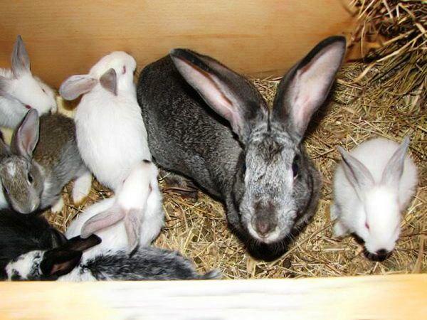 Кролики на начальной стадии болезни проходят курс терапии