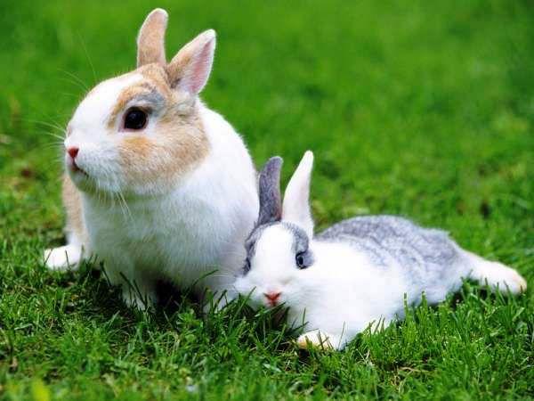 Кокцидоз у кроликов