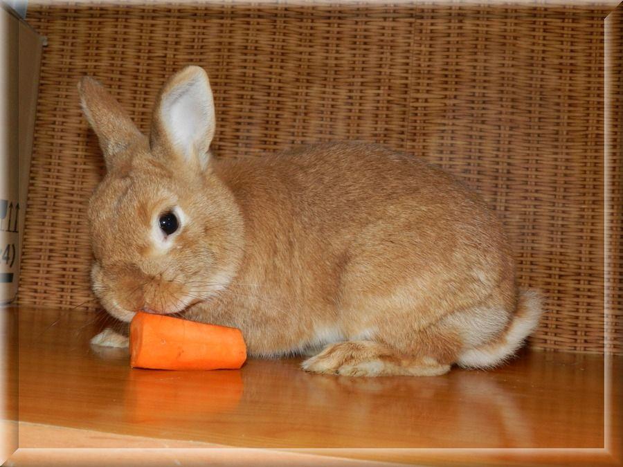 Покупать карликового кролика лучше в специализированном клубе или в солидном питомнике