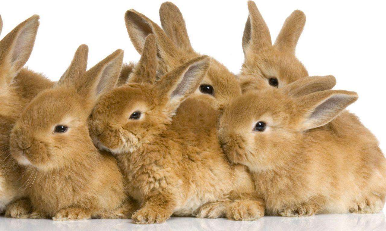 Карликовые кролики в зоомагазинах могут иметь серьезные наследственные проблемы или заболевания