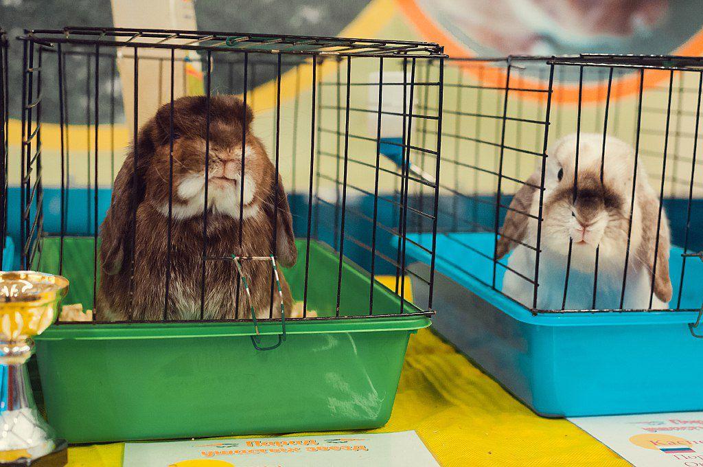 Получение медалей на выставках карликовых кроликов дает возможность племенного разведения животных