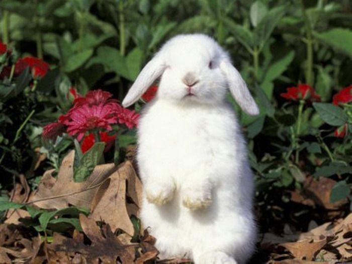 Карликовые кролики-долгожители при должном уходе могут достигать возраста 12 лет