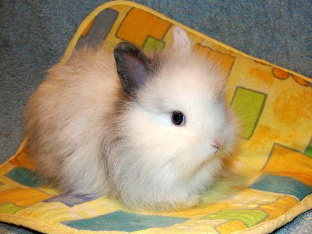 Карликовые кролики полностью адаптированы для содержания в домашних условиях