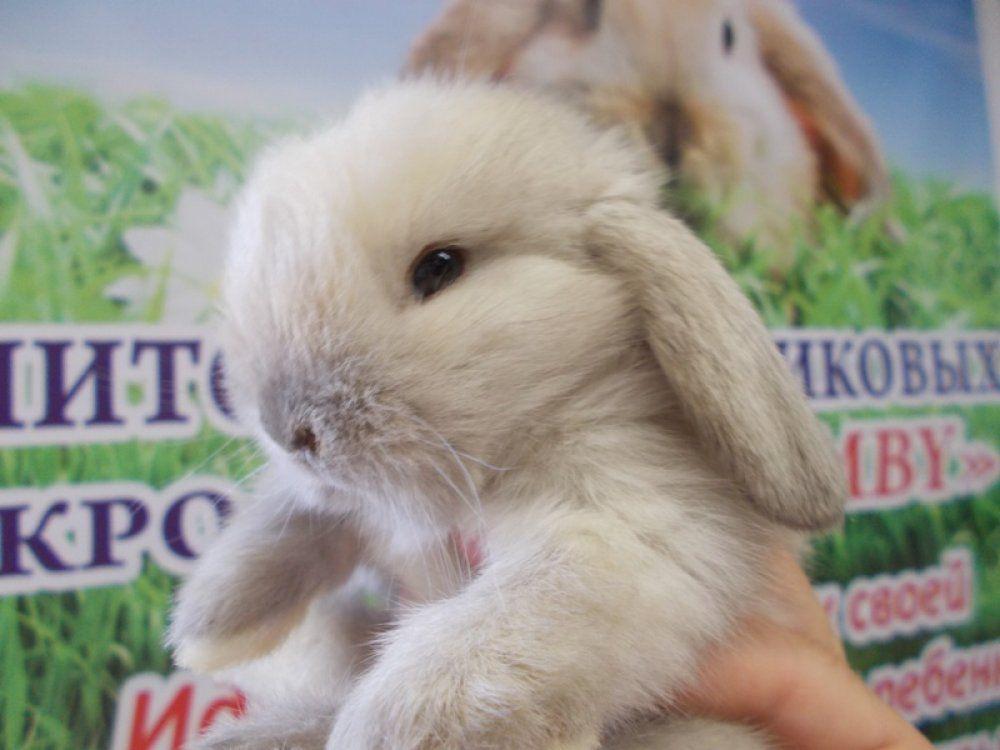 Чистопородного кролика от здоровых производителей можно купить в питомнике или у опытного заводчика