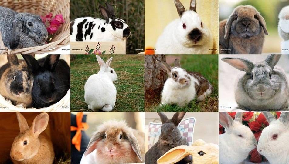 Для домашнего содержания выведено более 60 пород декоративных карликовых кроликов
