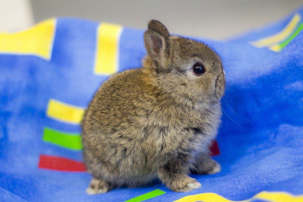 Карликовые кролики различаются по длине шерсти и форме ушей