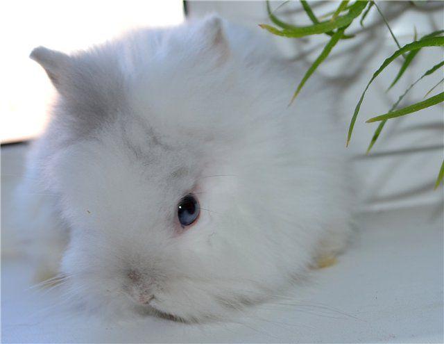 95% шерсти ангорского карликового кролика – пух