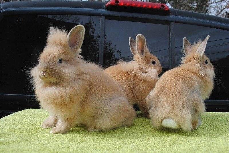 Разное сочетание доминантных и рецессивных генов дает различное опушение львиноголового кролика