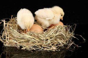 Новорожденные цыплята и их еще не проклюнувшиеся братья