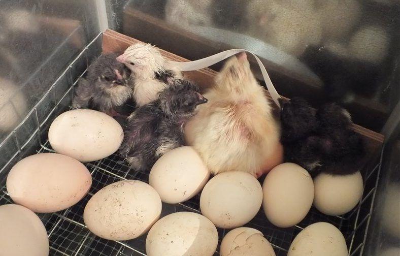 Птенцы в инкубаторе