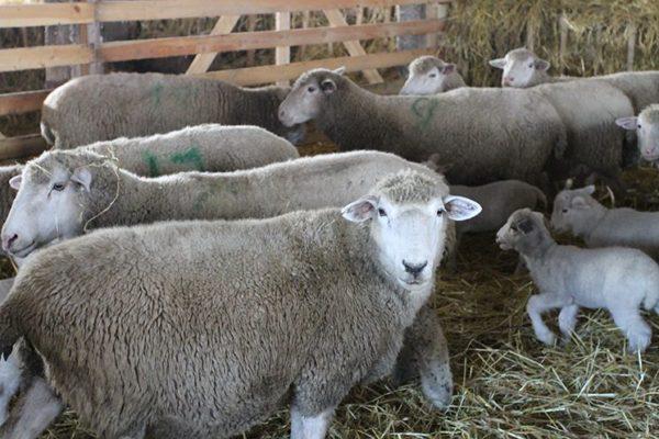 Куйбышевская породы на овечьей ферме мясо-шерстного направления