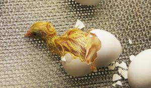 Самостоятельный выход цыпленка