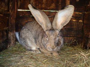 Кролик-великан в клетке
