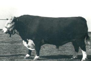 Бык одного из первых поколений казахской белоголовой селекции
