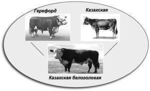 Казахская белоголовая порода