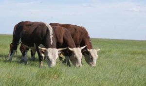 Казахские белоголовые коровы на выпасе