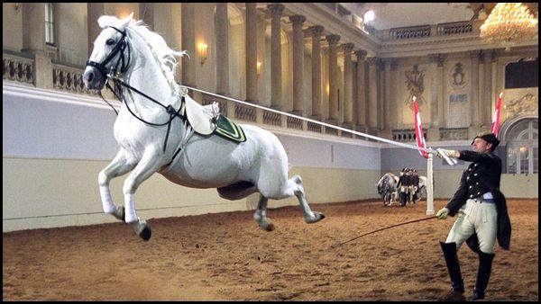 Школа верховой езды в Вене. Лошадь обучают выполнять каприоль.