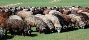 Овцы каракульской породы с разнообразного сура