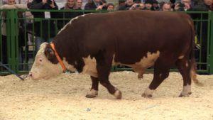 Племенной бык казахской белоголовой породы на выставке «Золотая осень» в 2015 году