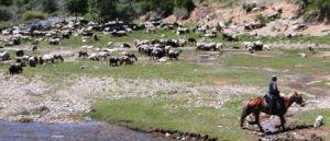 Выпас поголовья овец в Узбекистане