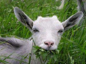 Молодая козочка ест траву