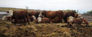 Скот в облегченных условиях содержания