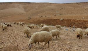 Благоприятные условия для разведения каракульских овец
