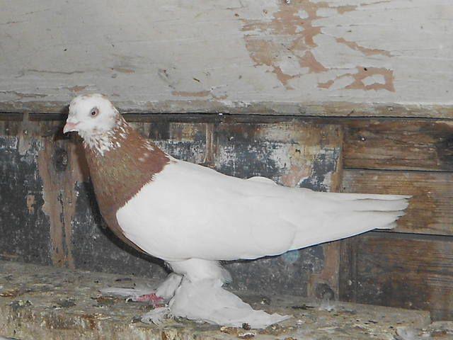 Бесчубый узбекский голубь