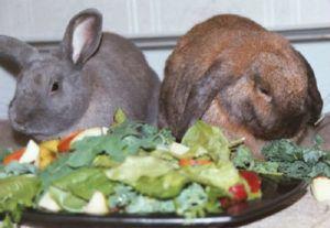 Стоит насторожиться, если кролик отказывается от пищи 24 часа