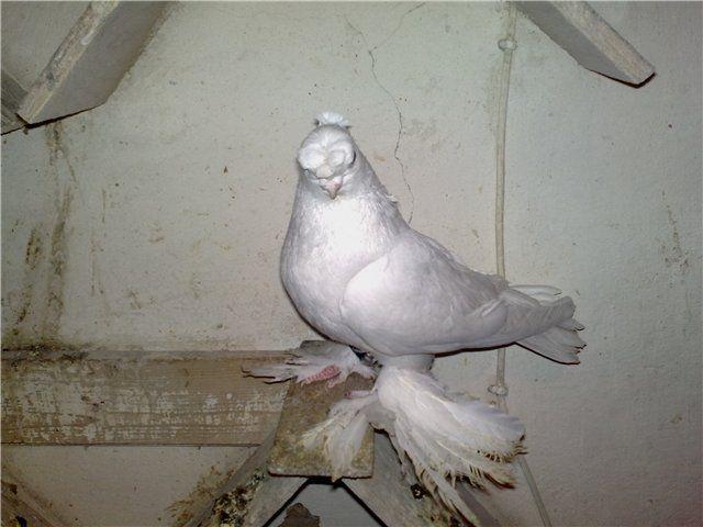 Узбекские лохмоногие голуби отлично летают