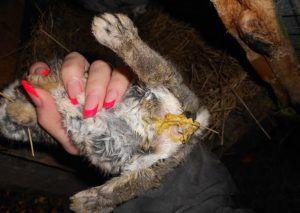 Желтый понос — одно из проявлений энтерита у кроликов