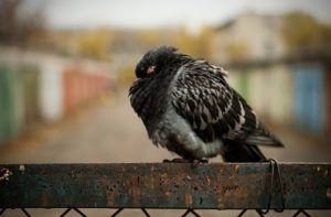 Больные орнитозом голуби представляют опасность для других птиц