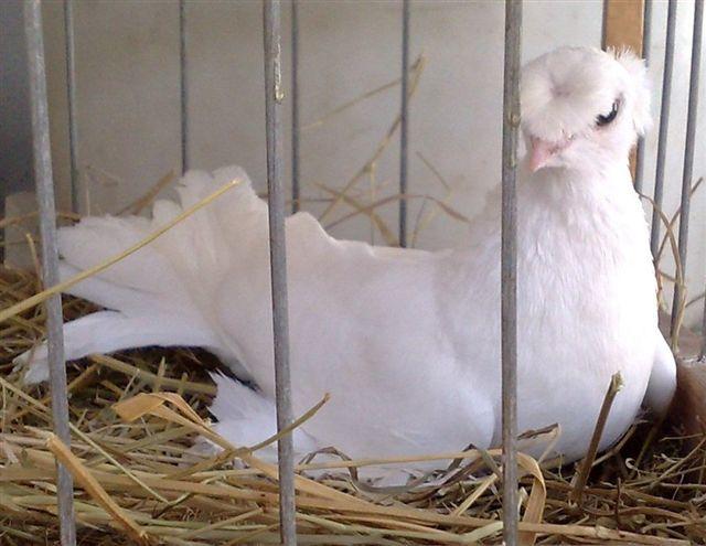Передний и задний чубы у голубя