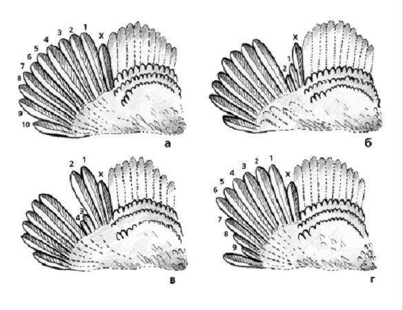 Определение стадии линьки по маховым перьям