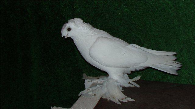 Чубатый узбекский голубь