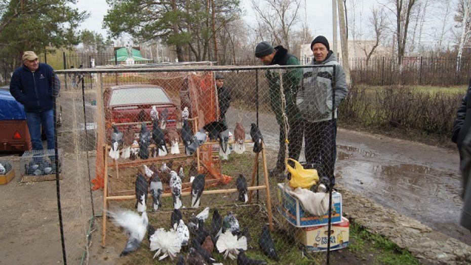 Часто подбор партнёра для голубей производят искусственно