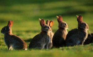 В природе дикие кролики питаются растительной пищей