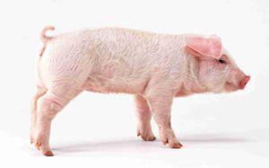 Здоровый поросенок — активный, розовый, с хорошим костяком