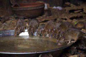 Крысы у воды