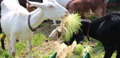 Кормушки для коз