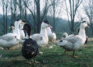 Птицы перед убоем