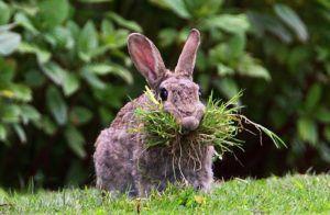Организм кролика приспособлен к растительной пище